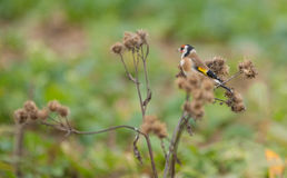 Goldfinch feeding on Thistle plant Stock Image