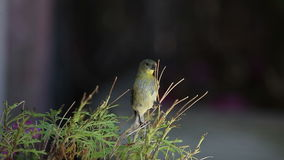 Goldfinch feeds on plant Stock Photos