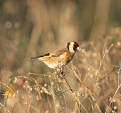 Goldfinch in field Royalty Free Stock Photography