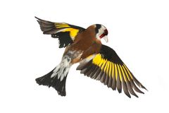 Goldfinch Stock Image