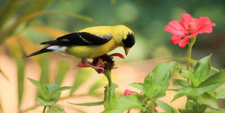 Goldfinch-flower royalty free stock photos