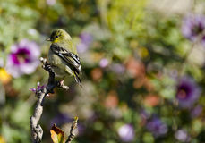 Goldfinch Flowers Royalty Free Stock Photos