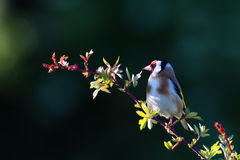 Goldfinch (Fringillidae de Carduelis) Photos libres de droits