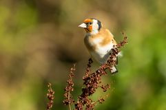 Goldfinch Carduelis carduelis royalty free stock image