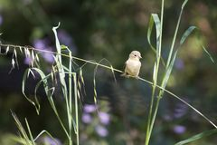 Goldfinch on grass. Goldfinch perched on a slanting grass stem.  Purple flowers and green foliage out of focus in the background.  Seeds dangling from the grass Royalty Free Stock Photo