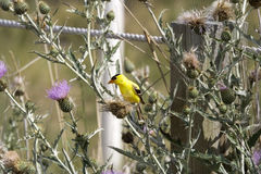 Goldfinch with great plumage looking alerted. Between thistles in the Desert Centre, Osoyoos, British Columbia, Canada - adobe RGB Stock Photo