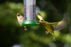 Goldfinch и Greenfinch Стоковое Изображение