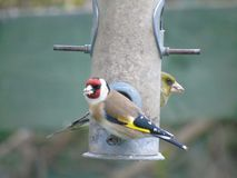 Goldfinch and Greenfinch royalty free stock image