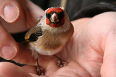 Goldfinch on a hand Royalty Free Stock Photos