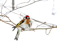 Goldfinch Stock Photography