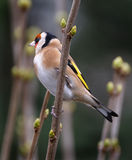 Goldfinch. Stock Image