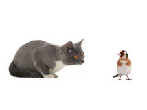 Goldfinch and kitten Royalty Free Stock Images