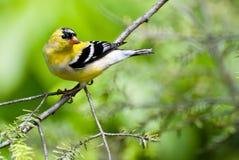 Goldfinch mâle changeant en des couleurs d'élevage dans Spri Photos libres de droits