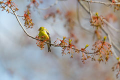 Goldfinch in Maple Tree Royalty Free Stock Photography