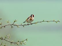 Goldfinch minúsculo foto de stock royalty free