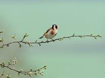 Goldfinch molto piccolo Fotografia Stock Libera da Diritti