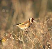 Goldfinch nel campo Fotografia Stock Libera da Diritti