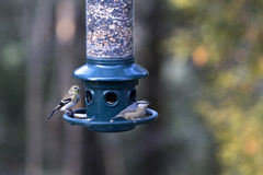 Goldfinch and Nuthatch on backyard feeder Royalty Free Stock Images