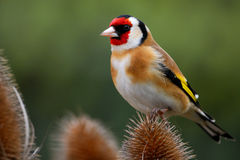 Goldfinch On Teasel Stock Photos