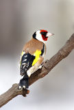 Goldfinch over the branch Royalty Free Stock Image