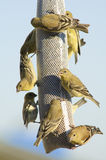 Goldfinch perched on a bag Stock Photo