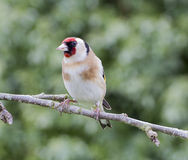 Goldfinch perched on branch of apple tree Stock Images