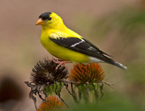 Goldfinch Perched On Coneflower Stock Photos