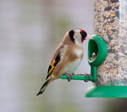 Goldfinch Perched on Feeder Stock Photo