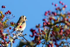 Goldfinch perched on a Hawhorn. Beautiful Goldfinch feeding on berries of Common Hawthorn Crataegus monogyna stock image