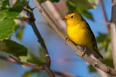 Goldfinch stock photos