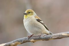 Goldfinch Perched Tree Branch in Winter Stock Image