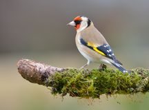 Goldfinch. Perching on a branch Stock Image