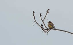 Goldfinch perching on dry branch Stock Photos