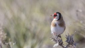 Goldfinch Perching on Thistle royalty free stock images