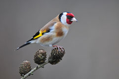 Goldfinch. Photo of goldfinch standing on a branch Royalty Free Stock Image