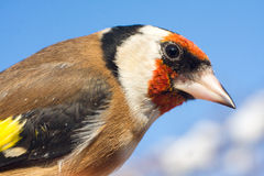 Goldfinch portrait close-up Royalty Free Stock Images