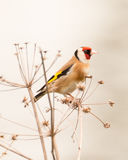 Goldfinch. Profile of a Goldfinch in evening light perched on a dry dill plant with a simple, clean bright background Stock Photography
