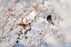 Goldfinch que se sienta en el burdock fotografía de archivo