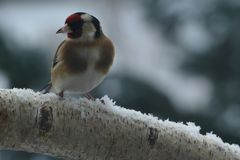 Goldfinch on branch in snow. Goldfinch redcap on branch in snow Royalty Free Stock Photos