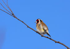 Goldfinch resting. European goldfinch (carduelis carduelis) resting on brach Stock Photography