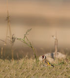 Goldfinch with Ruda herb Royalty Free Stock Photos