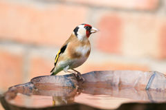 Goldfinch sat on bird bath. A goldfinch sat on a bird bath. a goldfinch is multi coloured bird Royalty Free Stock Photos