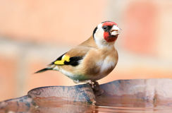 Goldfinch sat on bird bath. A goldfinch sat on a bird bath. a goldfinch is multi coloured bird Stock Photo