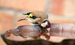 Goldfinch sat drinking on bird bath Stock Images