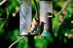 Goldfinch with a shadow. Royalty Free Stock Images