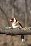 The goldfinch sits on a branch Stock Photo