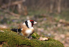 The goldfinch sits on the stub covered with a moss in the early Royalty Free Stock Image