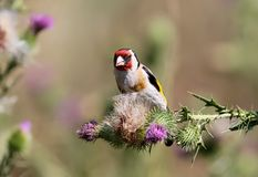 The goldfinch sits on a thistle flower royalty free stock image