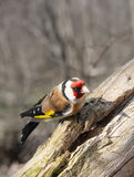 The goldfinch sits on a tree Royalty Free Stock Photography