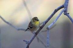 Goldfinch. Sitting on a branch with a dreamy blurred creamy pastel background Royalty Free Stock Photos